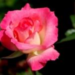 Розы Сабина