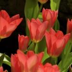 Тюльпаны Спринг Перл