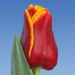 Тюльпаны Окланд
