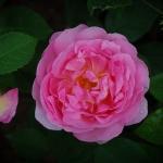 Розы Кир Роял