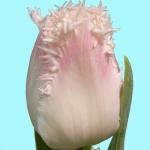Тюльпаны Галери