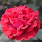 Розы Эль Торо