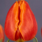 Тюльпаны Амалина Родригез