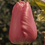 Тюльпаны Кантор