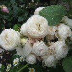 Розы Артемис