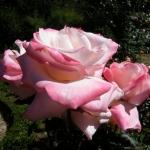 Розы Комтесс Бриджитта Шандон Мот