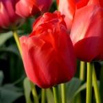 Тюльпаны Премьер