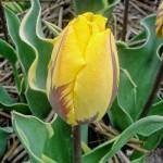 Тюльпаны Раванна