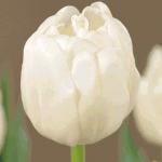 Тюльпаны Уайт Кинг