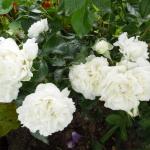 Розы Уайт Меилландина