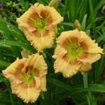 Daylily Crocodile Eye