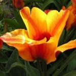 Тюльпаны Компостелла