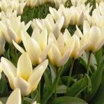 Тюльпаны Концерто
