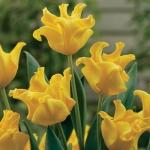 Тюльпаны Йеллоу Краун