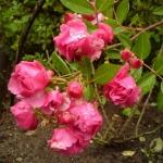 Розы Дик Костер