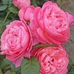 Róże Kolner Flora