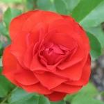 Розы Ремембрансе