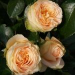 Розы Генриетта Барнетт