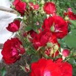 Розы Шамплейн