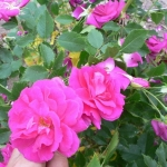 Розы Капитан Самуэль Холланд