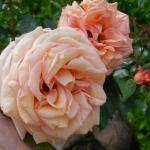 Розы Барок