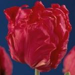 Тюльпаны Квазимодо