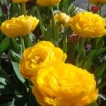 Тюльпаны Голд Фивер