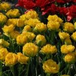 Тюльпаны Голден Гейт