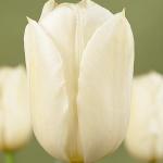 Тюльпаны Кокуэтт