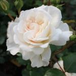 Розы Петтикот