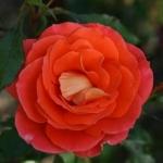 Розы Сью Райдер