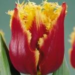 Тюльпаны Хайвэй