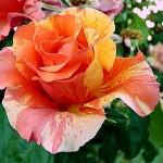 Розы Пол Гауджинн