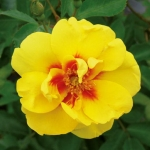 Róże Aykonik