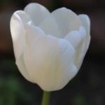 Тюльпаны Болроял Сильвер