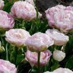 Тюльпаны Дэнселин
