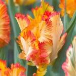 Тюльпаны Кариббиан Пэррот