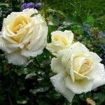 Розы Эмбиент