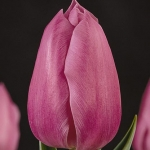 Тюльпаны Конкурс