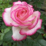 Розы Максим