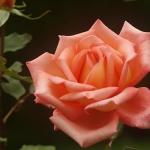 Розы Виктор Борге
