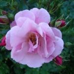 Розы Мейджик Карпет