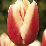 Тюльпаны Миржоран