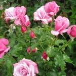 Розы Барбара Стрейзанд
