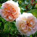 Розы Морабито
