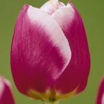 Тюльпаны Кракер