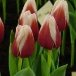 Тюльпаны Кристмас Гифт
