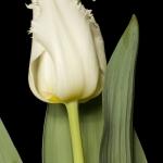 Тюльпаны Гус тер Хост