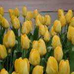 Тюльпаны Йеллоу Пуриссима