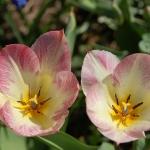 Тюльпаны Флеминг Пуриссима